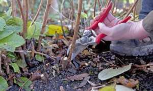 Как отрезать малину на зиму?