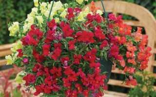 Крабовник ампельный: Выращивание из семян, посадка, уход, фото и отзывы