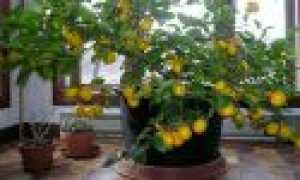Лимонное дерево: уход за домом, полив, кормление и обрезка