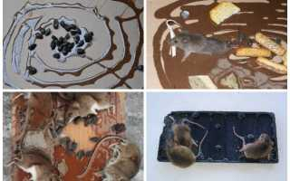 Клей для мышей и крыс: инструкция по применению и как сделать самостоятельно